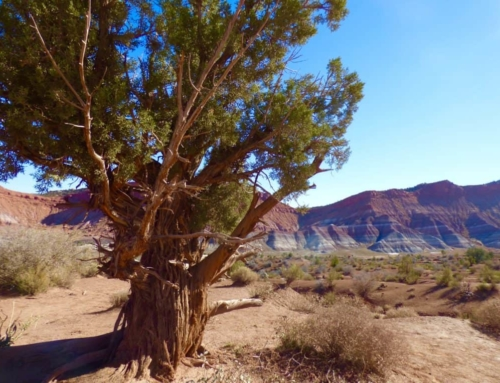 Life in Canyonlands: the Utah Juniper
