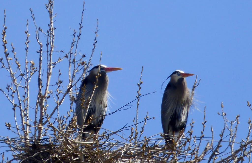 double heron-St-Vrain-River Longmont Boulder