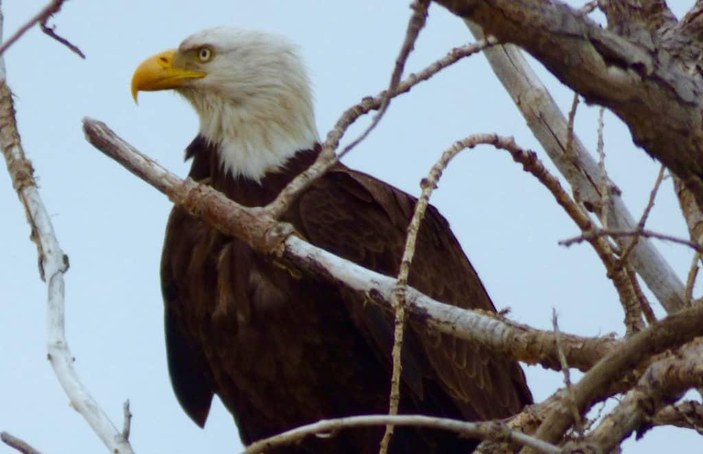 bald_eagle_st_vrain-River Longmont Boulder