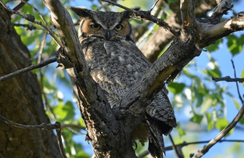 owl_st_vrain_river