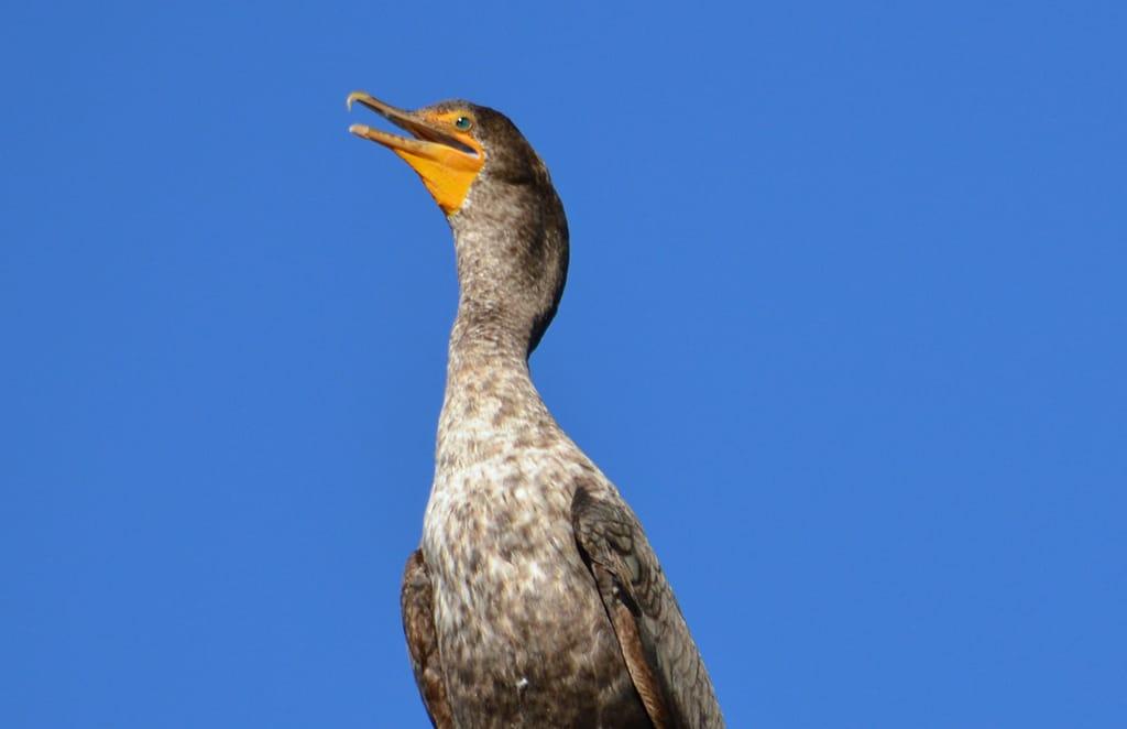 cormorant-big