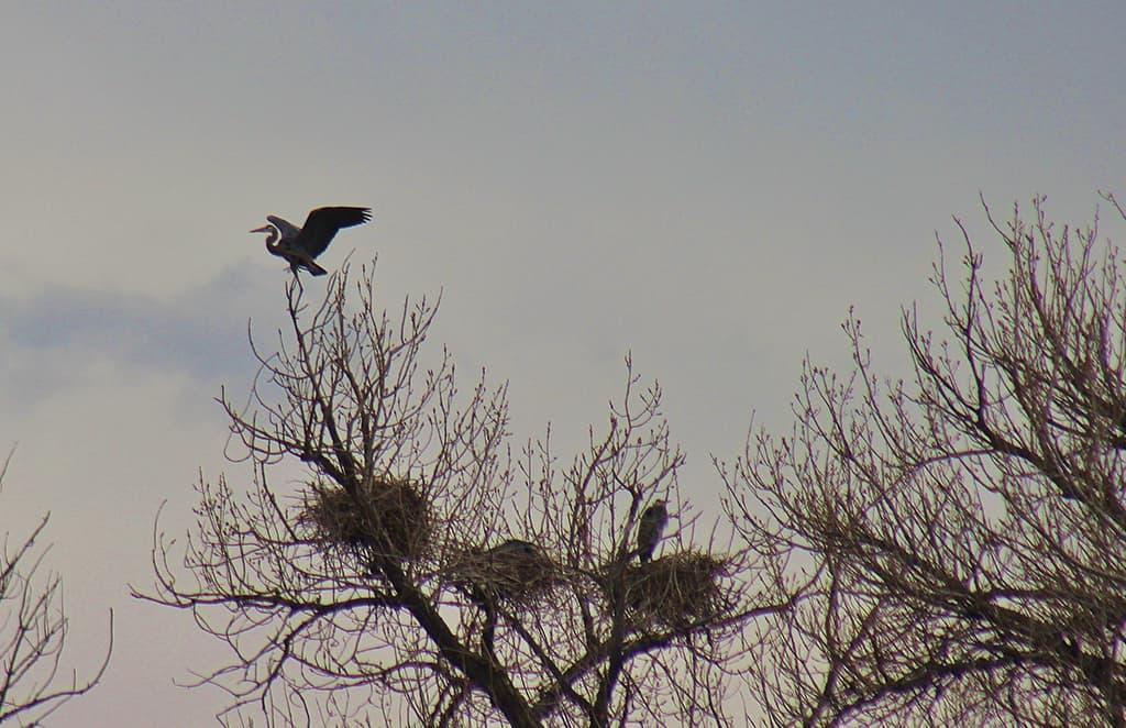 heron landing Guided-Canoeing-Trips-Longmont