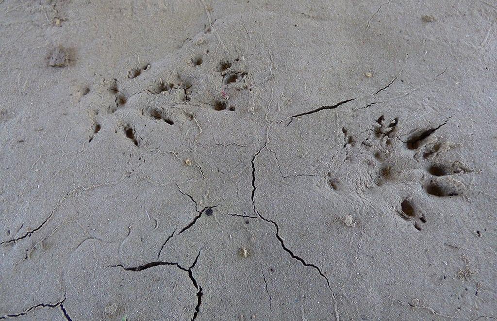 mink tracks Guided-Canoeing-Trips-Longmont
