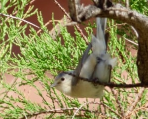Lucy's Warbler in the Tamarisk at Hey Joe Canyon