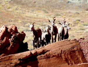 Desert Bighorn Sheep across from Two-mile Canyon